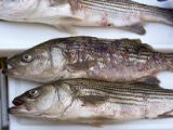 Mycobacteriosis lesions in striped bass. Photo courtesy of the Maryland Department of Natural Resources