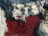 "A ""red mat"" biofilm in a hot spring on Paoha Island in Mono Lake."