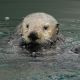 Sea otter. Photo credit: Tania Larson, USGS